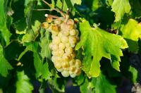 Cepage cognac: d'où vient ce goût délicieux?